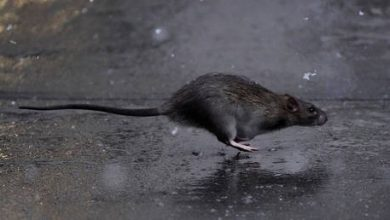 Photo of The ratpocalypse? Keiser Report explores pandemic's severe impact on NYC and… its RATS