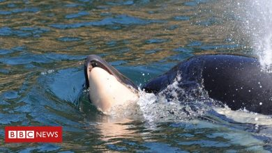 Photo of Tahlequah: Killer whale who carried dead calf for days is pregnant