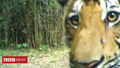Photo of Tiger sightings increase in Thai forest