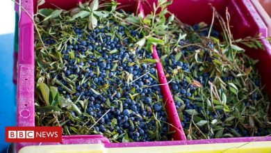 Photo of Blueberry farmers warn of 'disaster' crop