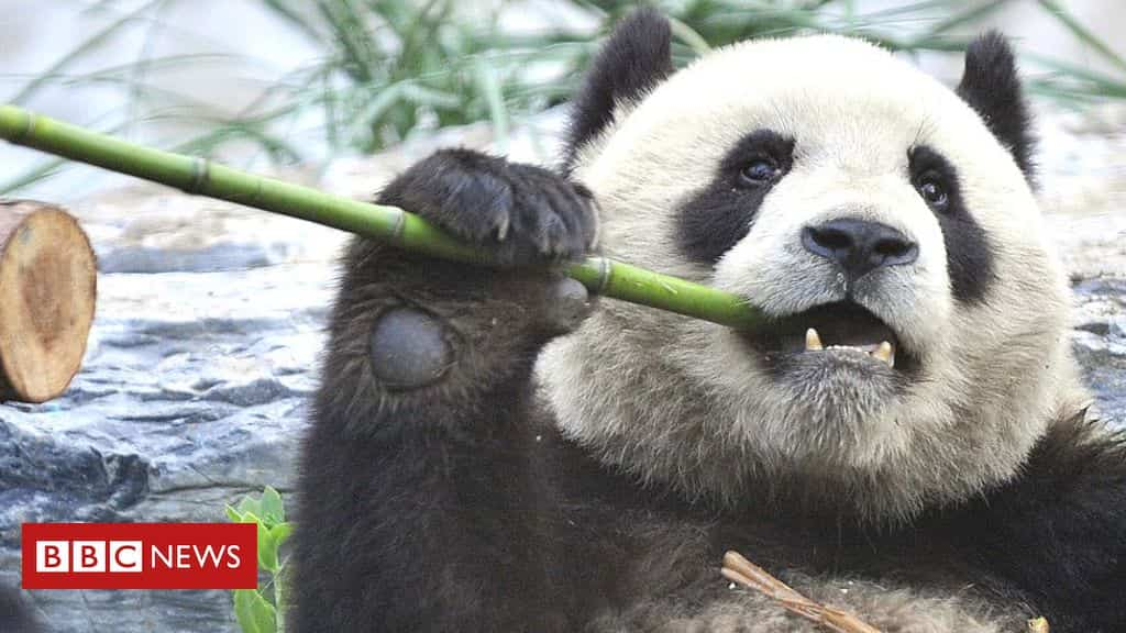 other-mammals-lose-out-in-panda-conservation-drive