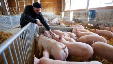 Photo of Swine fever may deprive German pork producers of lucrative Chinese market