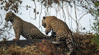 Photo of Brazil's Pantanal fires: Animals 'dying of hunger and thirst'