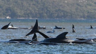 Photo of Hundreds of whales stranded off the coast of Tasmania