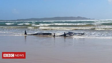 Photo of Australia whales: 90 dead in mass stranding off Tasmania