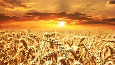 Photo of Russia projected to dominate global wheat exports for years to come