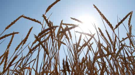 russia-gets-closer-to-new-wheat-harvest-record-thanks-to-surging-grain-yields
