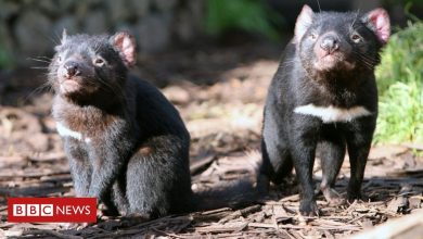 Photo of Tasmanian Devils reintroduced into Australian wild