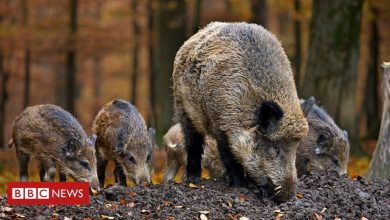 Photo of Wild boar family killed by police in Rome children's playground