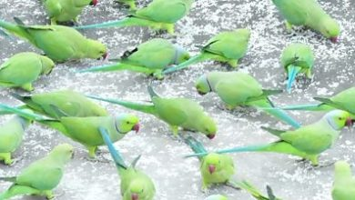 Photo of Why hundreds of parrots visit this same terrace every day