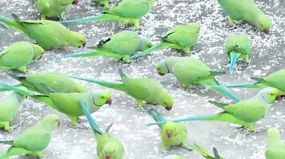 why-hundreds-of-parrots-visit-this-same-terrace-every-day