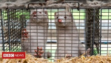 Photo of Denmark mink cull: Government admits culling had no legal basis