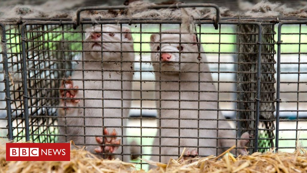 denmark-mink-cull:-government-admits-culling-had-no-legal-basis
