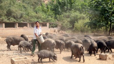 Photo of China's pork prices fall for first time in over a year as shortage eases