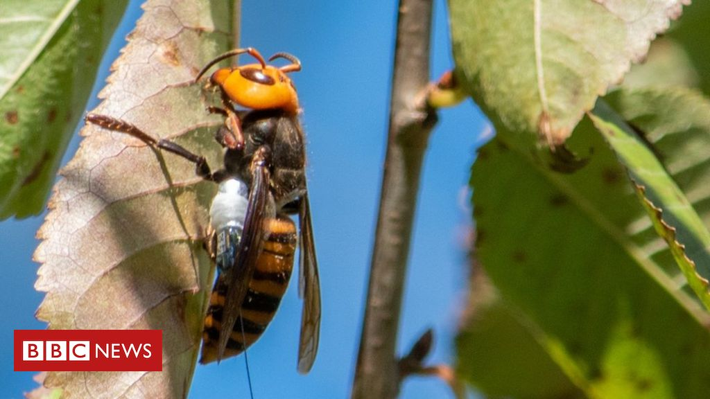 'murder-hornets':-more-nests-likely-to-be-found-in-us