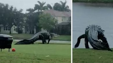 Photo of Is this giant alligator on a Florida golf course real?