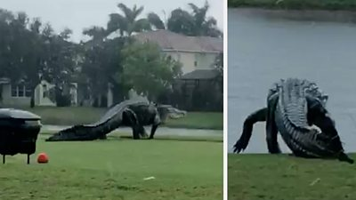 is-this-giant-alligator-on-a-florida-golf-course-real?