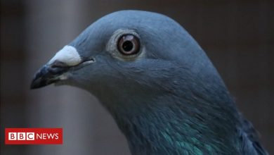 Photo of New Kim: Racing pigeon from Belgium sold for record €1.6m
