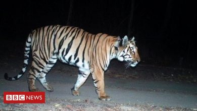 Photo of India tiger awaits mate after 'longest' 3,0000km journey