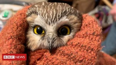 Photo of Tiny owl rescued from New York Rockefeller Center Christmas tree