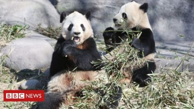 Photo of Coronavirus: Pandas leave Canada for China's bamboo