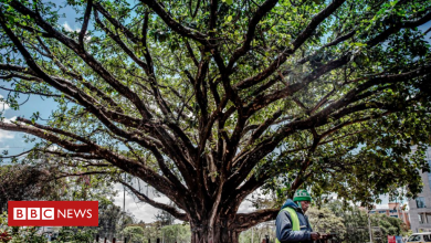Photo of Viewpoint: Why Kenya's giant fig tree won over a president