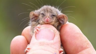 Photo of Little pygmy possum found on Australian island for first time since fires