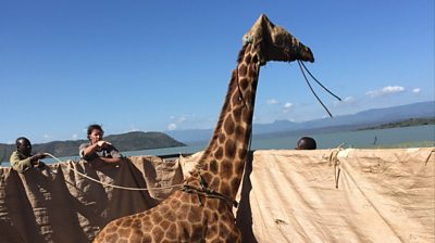 the-stranded-giraffes-being-rescued-by-raft