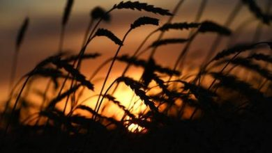 Photo of Russia considers grain export quota to stabilize domestic food prices