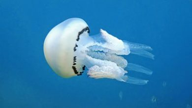 Photo of Microplastics, drugs and food – how jellyfish can help us