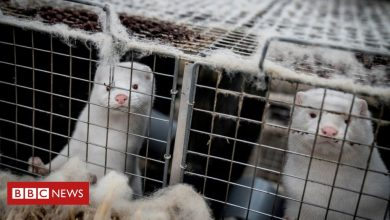 Photo of Covid: Denmark to dig up millions of mink culled over virus