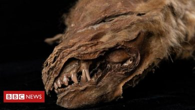 Photo of Ancient mummified wolf pup in Canada 'lived 56,000 years ago'