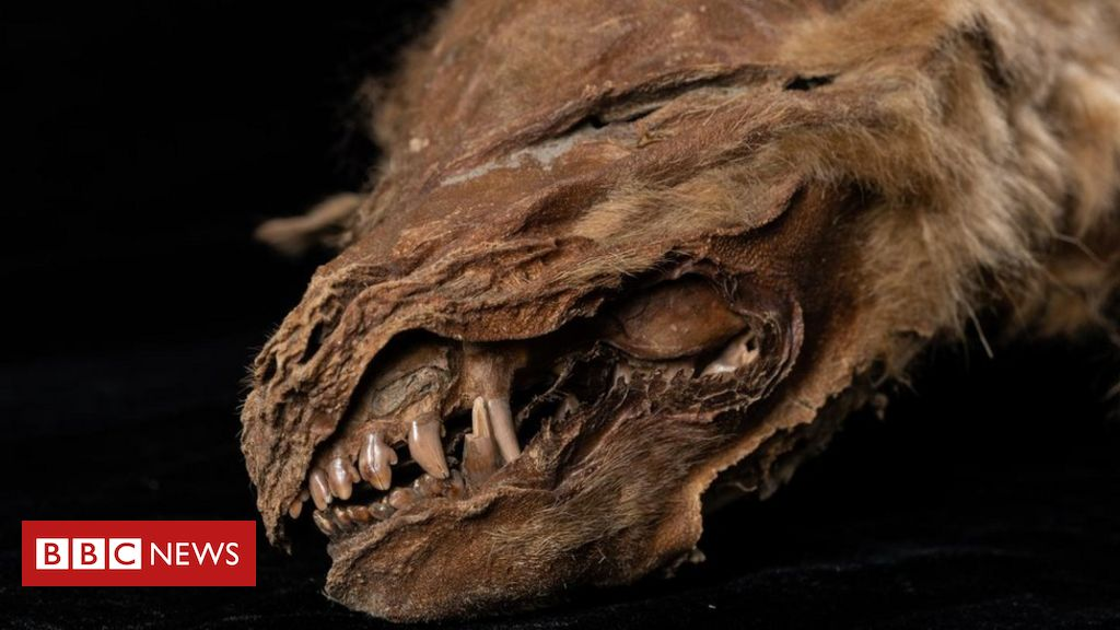 ancient-mummified-wolf-pup-in-canada-'lived-56,000-years-ago'