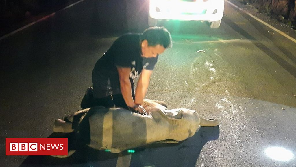 thai-man-revives-baby-elephant-with-cpr-after-motorbike-accident