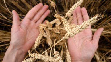 Photo of Moscow Exchange sows seeds of potential with launch of wheat futures contracts
