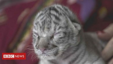 Photo of White Bengal tiger cub born at Nicaragua zoo