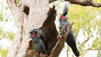 Photo of Palm cockatoo: Why a unique 'drumming' bird is in peril