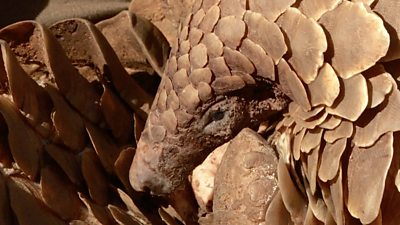 how-south-african-police-are-tackling-pangolin-smugglers