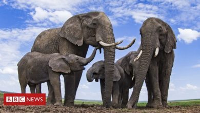 Photo of Elephants counted from space for conservation