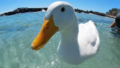 Photo of Surfing duck: Pet becomes local celebrity at Australian beach