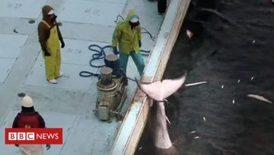 Photo of Japan whale hunting: 'By-catch' rule highlighted after minke death