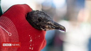 Photo of Cape cormorants: Caring for South Africa's chicks abandoned in wild