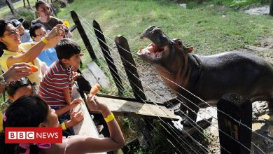 Photo of Pablo Escobar: Why scientists want to kill Colombia's hippos