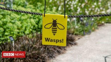 Photo of New Zealand deploys insects to tackle wasp problem