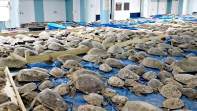 Photo of Texas weather: Thousands of cold-stunned turtles rescued