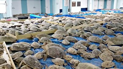 texas-weather:-thousands-of-cold-stunned-turtles-rescued