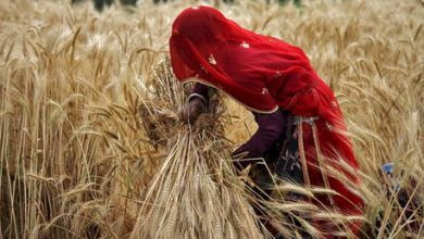 Photo of India on track to have its largest wheat harvest ever