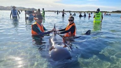 Photo of New Zealand: Rescuers save 28 whales from stranding spot