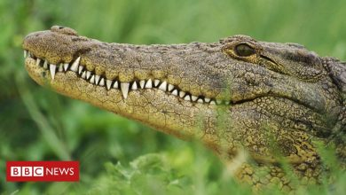 Photo of South Africa crocodiles: Hunt on after mass escape in Western Cape