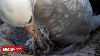 Photo of World's oldest known wild bird has another chick at age of 70